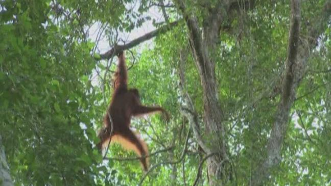 how are orang utan populations under threat Rainforest trust's long-term efforts to protect  orangutans are under threat from rampant deforestation as large  orangutan populations in indonesia.