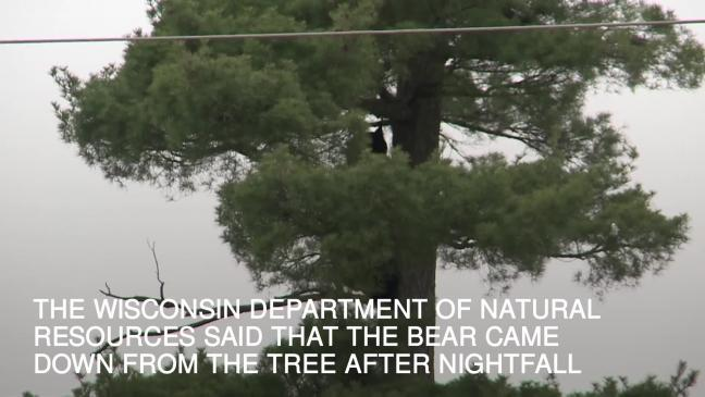 Bear Spends Hours Up A Tree In Wisconsin