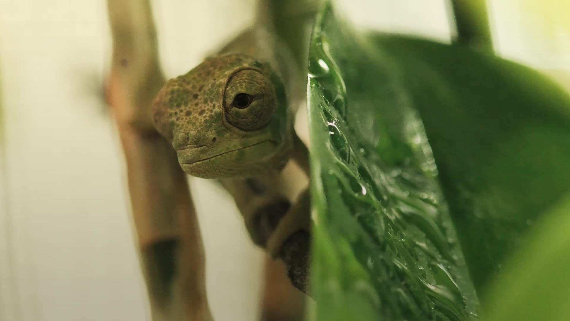 chameleon hatching out  YouTube